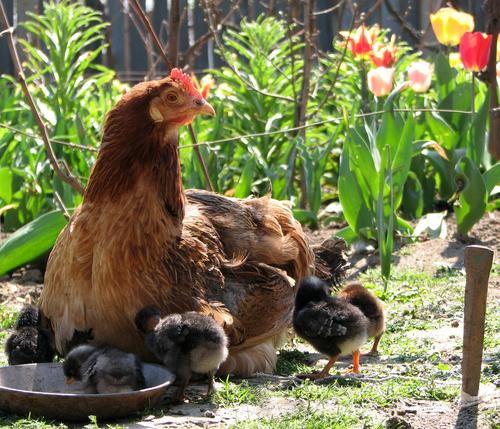 Ekologisk kyckling och ägg